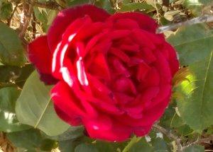 Rose Garden in Jordan 2015 Photo by Hadel S. Ma'ayeh